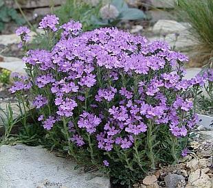 Erinus alpinus for Fiori da ombra perenni