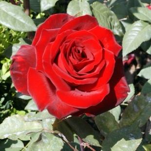 4106-rosa-barcarolle-ruze.jpg