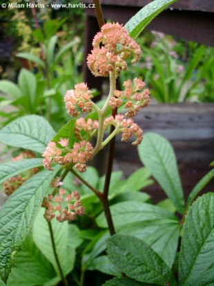 Rodgersia pinnata - rodgersie