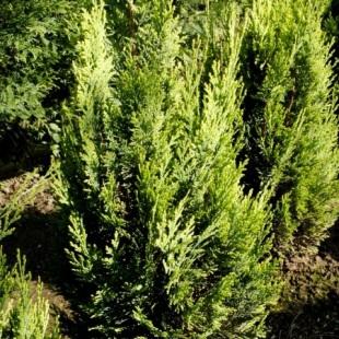 Rostliny chamaecyparis lawsoniana alumigold cypřišek lawsonův