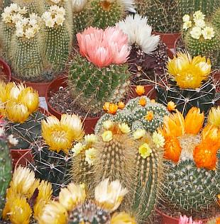 Kaktusy (TIP ZC CS)