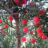 Taxus x media ´Hicksii´ - tis