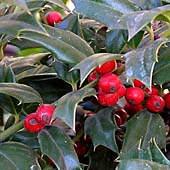 Ilex ´Washington´ - cesmína