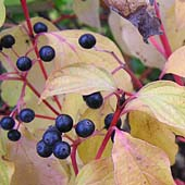 Cornus sanguinea ´Winter Flame´ - svída
