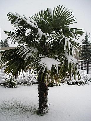 Mrazuvzdorné palmy prodej