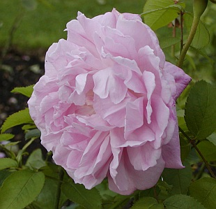 Austinovy růže