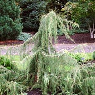 Juniperus communis horstmann - Horstmann garten ...