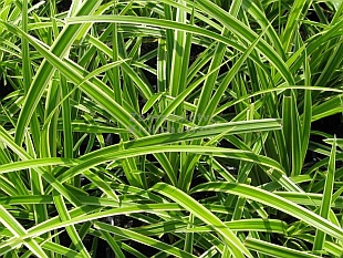 Carex morrowii 'Ice Dance' - ostřice