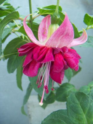 Fuchsia x hybrida 'Seventh Heaven' - fuchsie, čílko