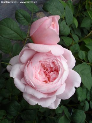 Rosa 'Queen of Sweden' - růže