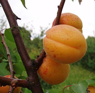 obrázek1: meruňka s čárkou kterou povedeme řez