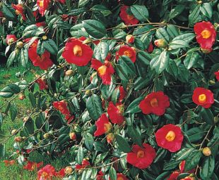 Camellia x williamsii 'Saint Ewe' - kamélie Williamsova (READERS DIGEST VÝBĚR)