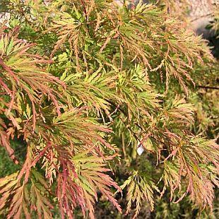 Rostliny: acer palmatum 'seiryú' - javor dlanitolistý