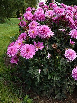 Dahlia - jiřina   rostliny / cibuloviny, hlíznaté rostliny   Garten ...