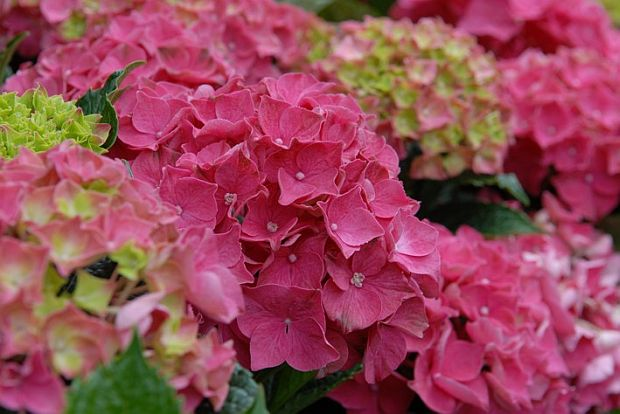 Hydrangea macrophylla Forever&Ever ® 'Red' - hortenzie