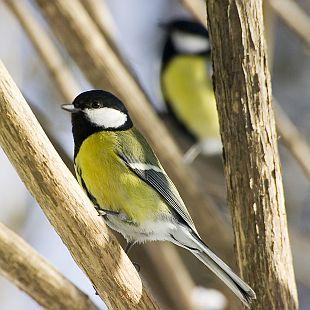 Ptáci pomáhají v boji proti škůdcům sýkora koňadra provobis