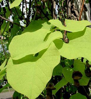 Rostliny: aristolochia macrophylla - podražec velkolistý