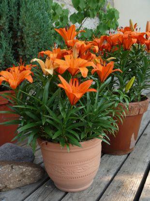 Lilie v květináči po odkvětu