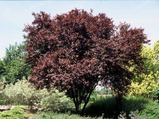 Malokorunné stromy s červenými listy prunus cerasifera nigra
