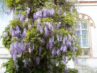 Popínavé balkonové rostliny