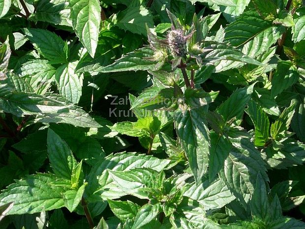 Mentha piperita 'May' - máta peprná