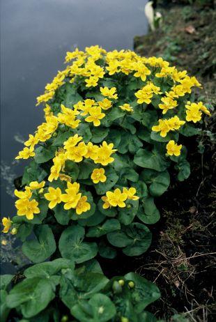Caltha palustris - blatouch bahenní ( provobis )