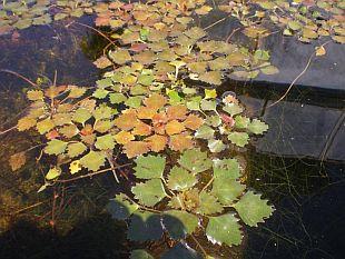 Jezírka - rostliny pro jezírko a bažinatou zónu