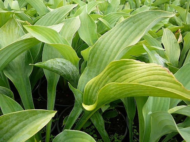 Hosta nigrescens 'Krossa Regal' - bohyška