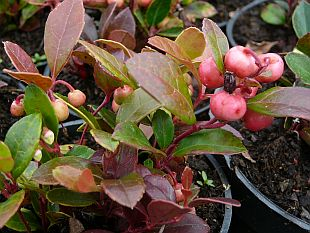 Gaultheria procumbens 'Winter Pearls Big Berry' - libavka polehlá