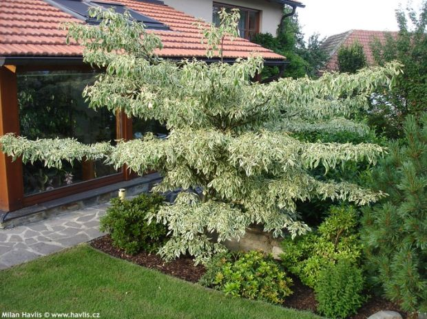 Cornus controversa 'Variegata' - wedding cake tree, giant dogwood