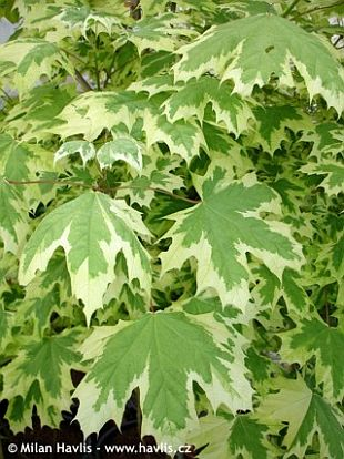 Acer platanoides 'Drummondii' - Norway maple