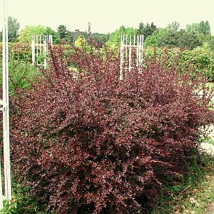 Berberis thunbergii 'Red Chief' - dřišťál thunbergův