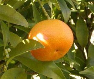 Pomerančovník pěstování