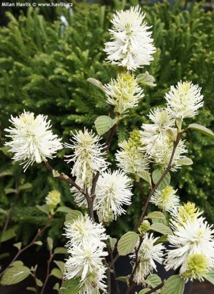 Fothergilla major - fotergila, kuska