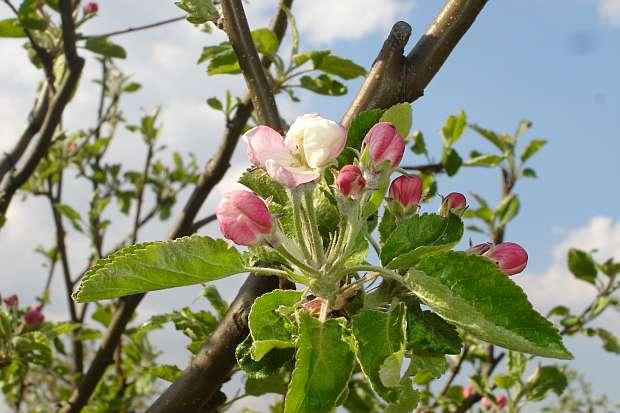 Výsadba ovocných stromov v jarnom období