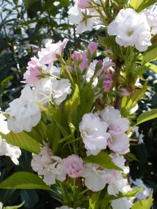 Prunus serrulata 'Amanogawa' - flowering cherry
