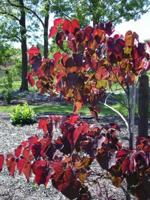 Cercis canadensis 'Forest pansy' - eastern redbud, love tree