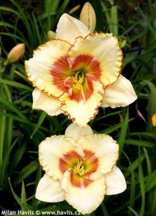 Hemerocallis Sixth sense - denivka: 8596