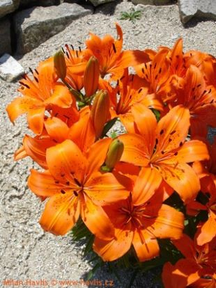 Lilium Orange Pixie - lilie: 8604