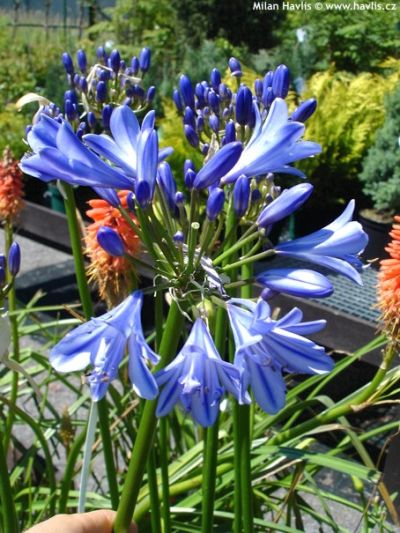 Agapanthus 'Jack's Blue' - African blue lily