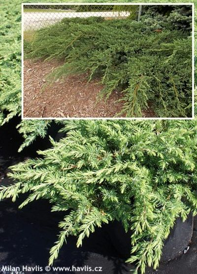 Juniperus communis 'Green carpet' - jalovec obecný