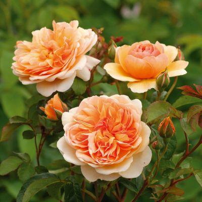 Zahradní růže