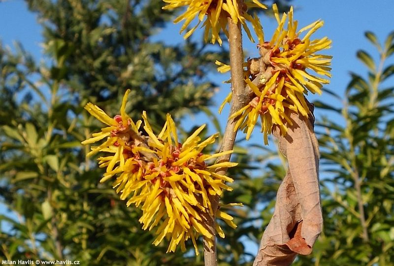 Hamamelis x intermedia 'Barmstedt Gold' - witch hazel