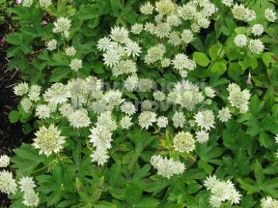 Astrantia major 'Star of Billion'® - jarmanka