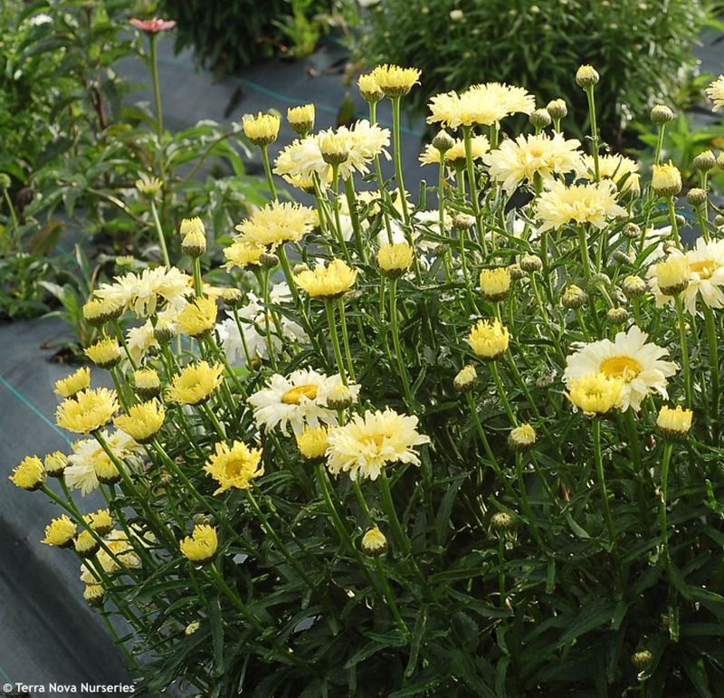 Leucanthemum Goldfinch - kopretina; foto: Leucanthemum Goldfinch - kopretina (TERRA NOVA NURSERIES): 9971