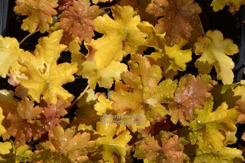 Heuchera 'Amber Waves'® - dlužicha