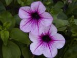 Petunia  Surfinia Rose Vein - surfinie