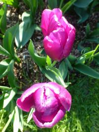 Tulipán 'Purple Prince'
