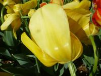 Tulipán 'Golden Parade'