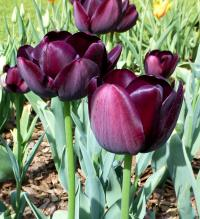 Tulipán 'Queen of Night'